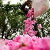 Розы Ирана