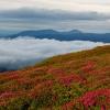 Карпаты поход: Цветущий рододендрон на склоне горы Поп Иван Черногорский